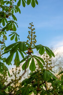 Blossoming chestnut tree in spring