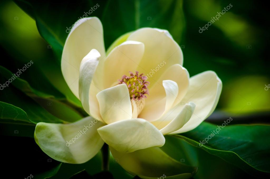 Spring magnolia tree flower