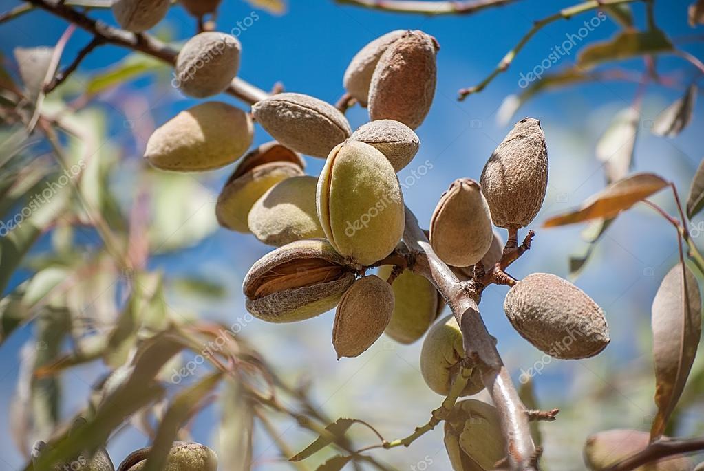 black almond tree removal - 992×527