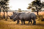 Photo Two Rhinos