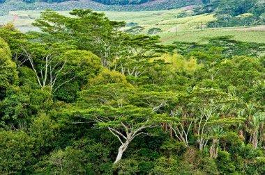 Rain forest Mauritius