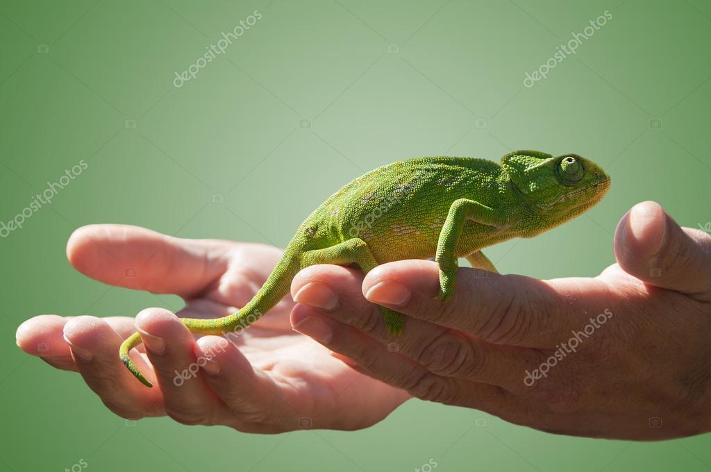 Chameleon in some hands