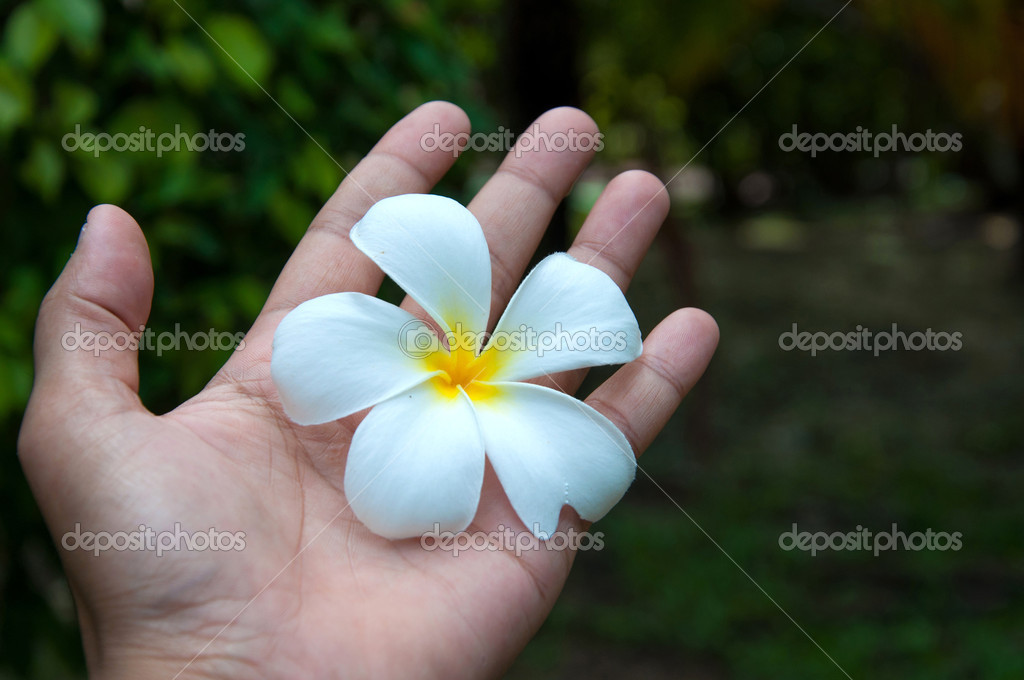 white frangipani flowers on hand with leaves in background