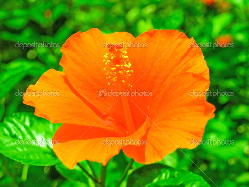 Fresh Hibiscus Orange Flower In Garden Stock Photo Casanowe1