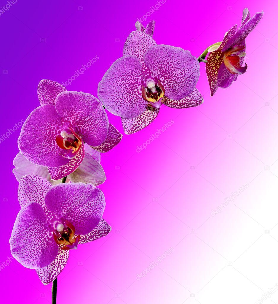 Purple orchid flowers