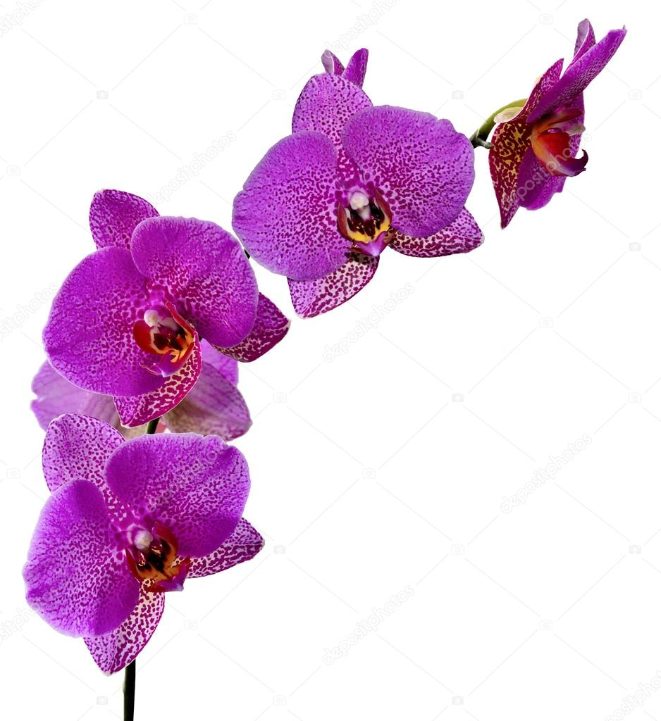 Purple orchid flowers.