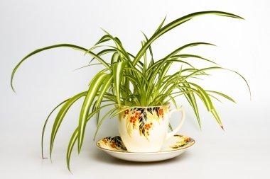 Spider plant in retro tea cup