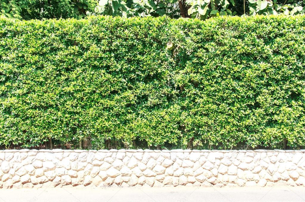 Arbustos De Jardin Para Vallas Arbol De La Valla Arbustos En Base - Arbustos-para-vallas