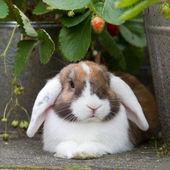 Fotografia olandese-lop mini coniglio in giardino