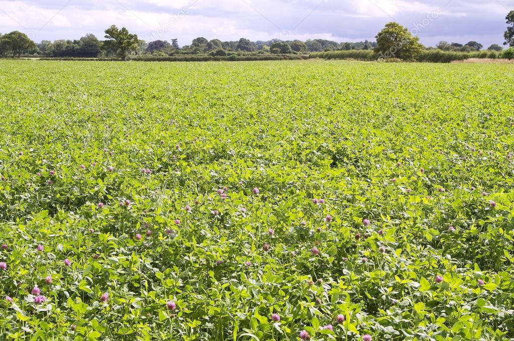 Field of red clover 'Trifolium pratense'