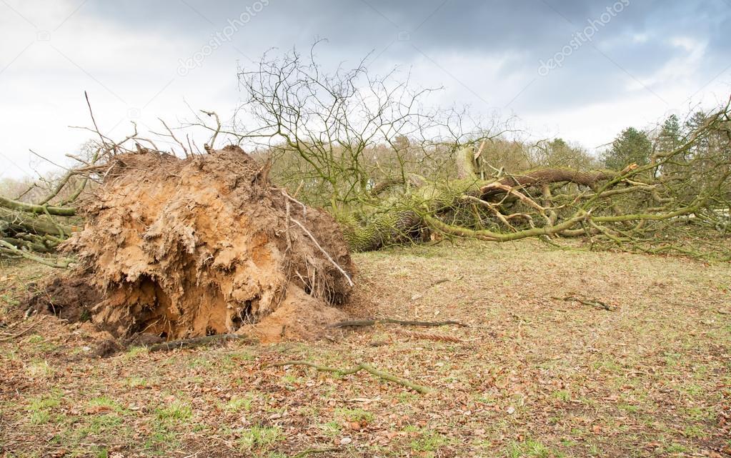 Storm beschadigd omgevallen boom met blootgestelde wortels
