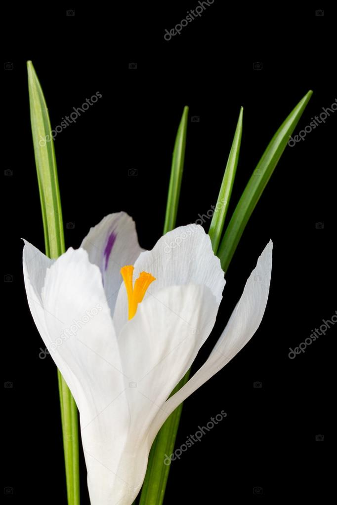 Close up image of white crocus flower stock photo sc images close up image of white crocus flower on black background photo by sc images mightylinksfo