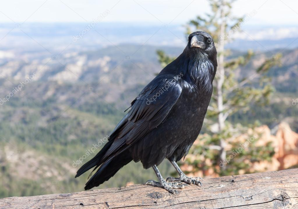 The Raven of Ponderosa Point