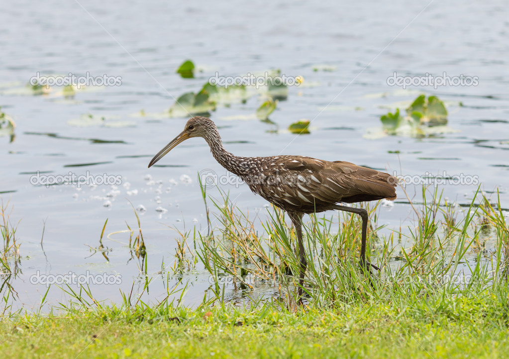 Limpkin Out For Lunch