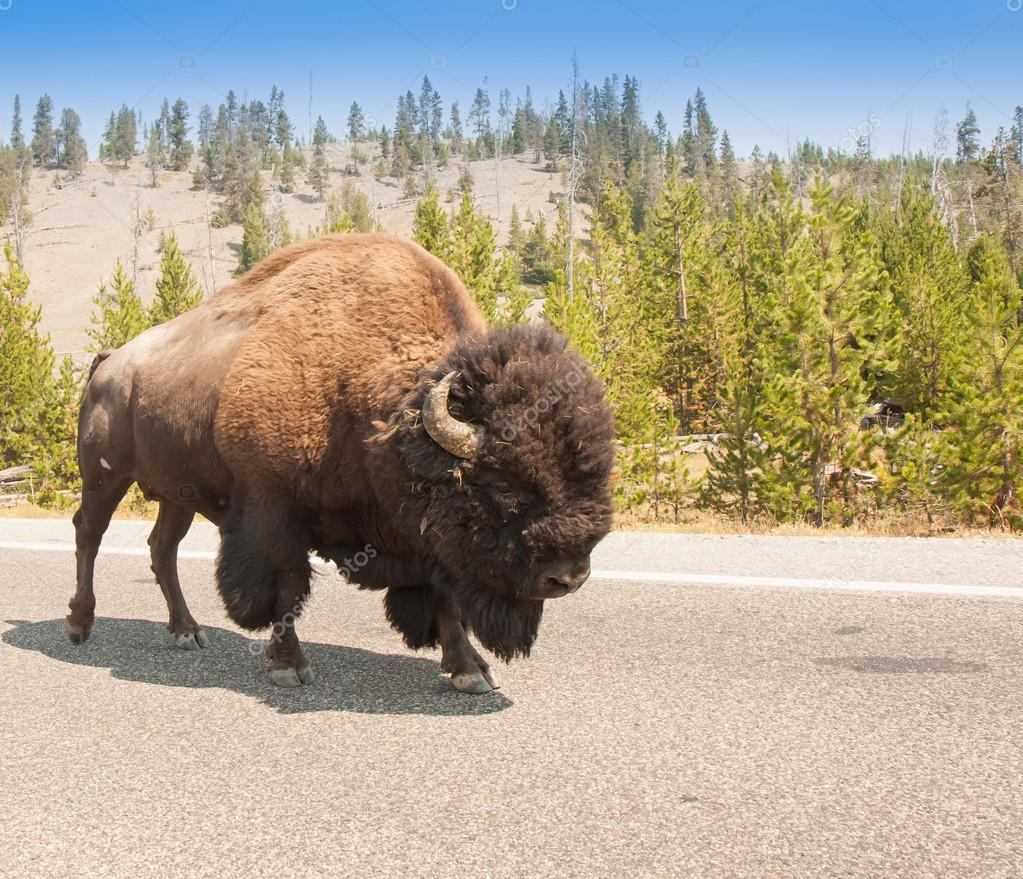 American Bison Sharing the Road