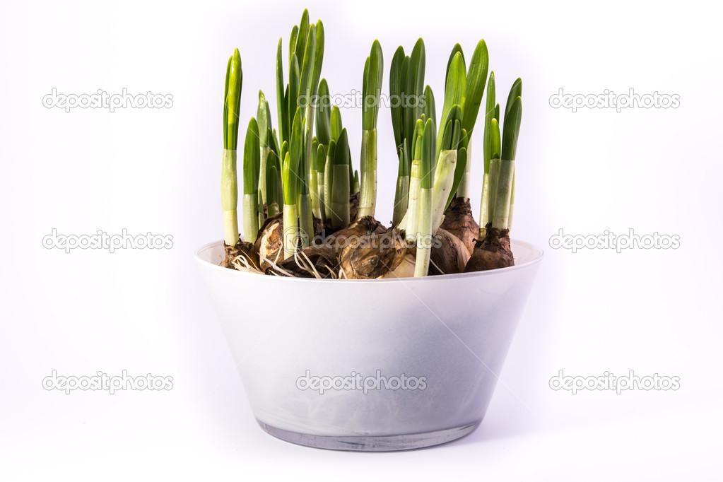 Bulbi In Vaso Di Vetro.Vaso Di Vetro Con Bulbi Di Narcisi Freschi Foto Stock