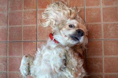 Cocker Spaniel Dog