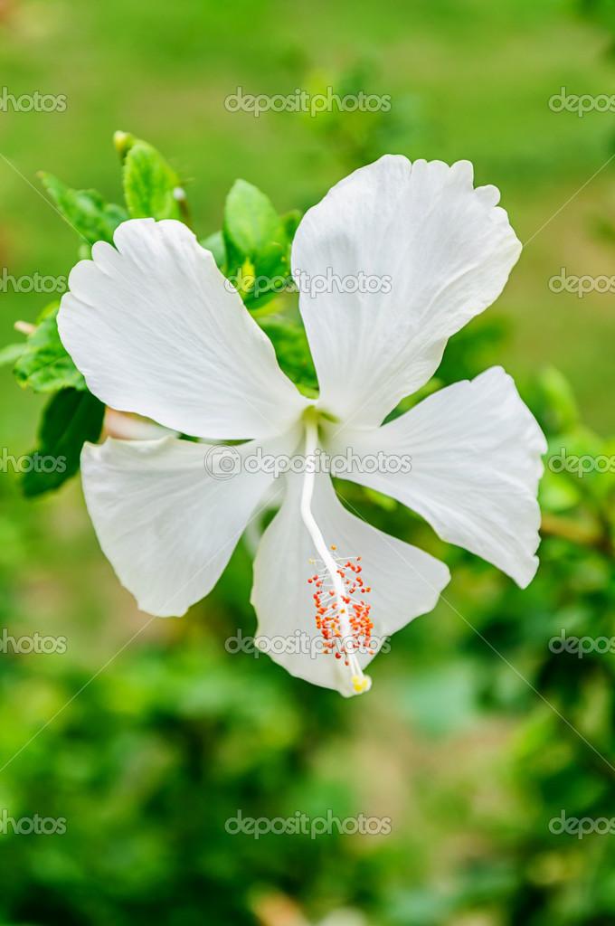 White hibiscus flowers — Stock Photo © nuwatphoto #27841939