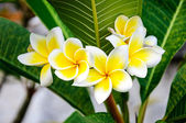 Fotografie Plumeria flowers
