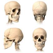 lidská lebka, čtyři pohledy.