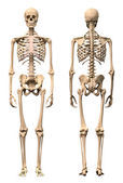 Fotografie Male Human skeleton, two views, front and back.