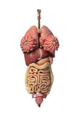 Photorealistic 3D rendering, of Female full internal organs, fro