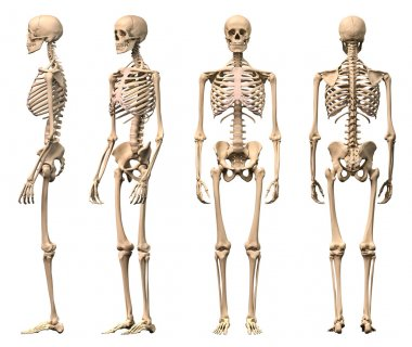 Male Human skeleton, four views, front, back,side and perspectiv