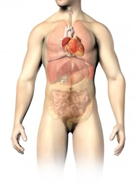 Man anatomy internal organs, with the heart spotted. Clipping pa