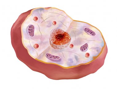 Human cell, anatomy image.