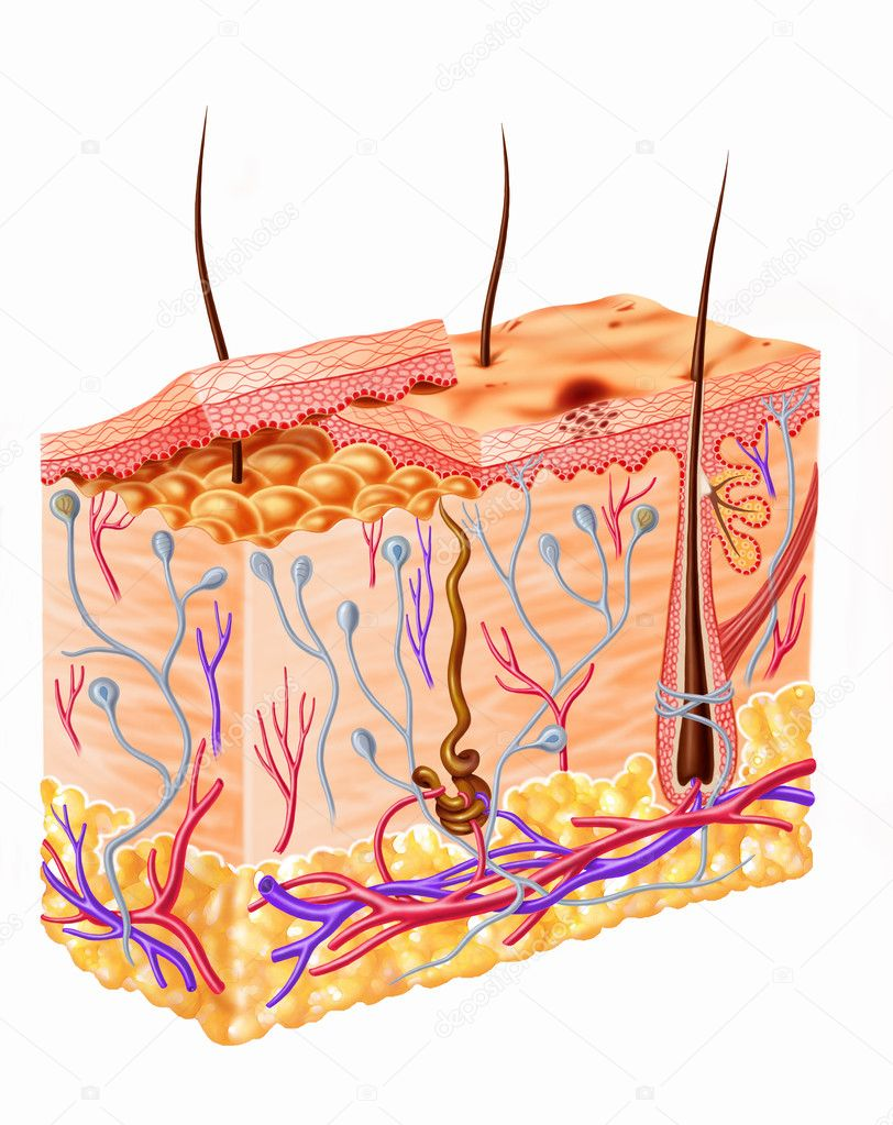 Diagrama de la sección de la piel humana — Fotos de Stock ...