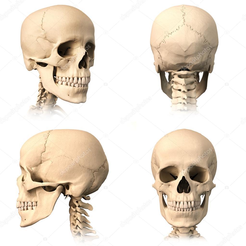 menschlicher Schädel, vier Ansichten — Stockfoto © Pixelchaos #25636781