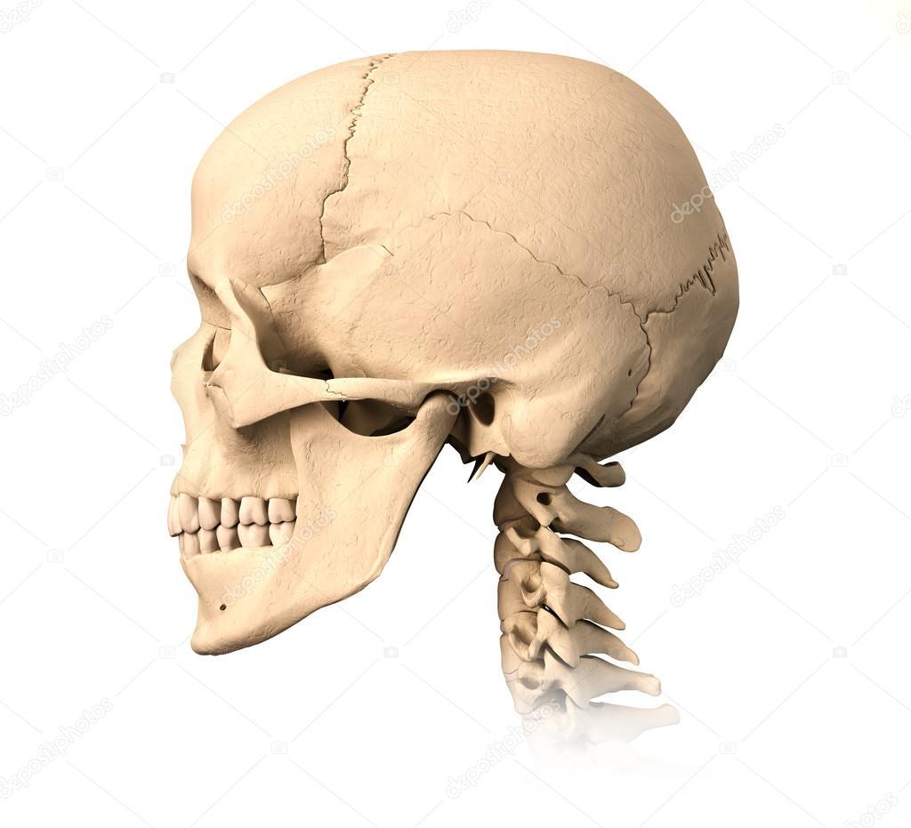 cráneo humano, vista lateral — Fotos de Stock © Pixelchaos #25637665