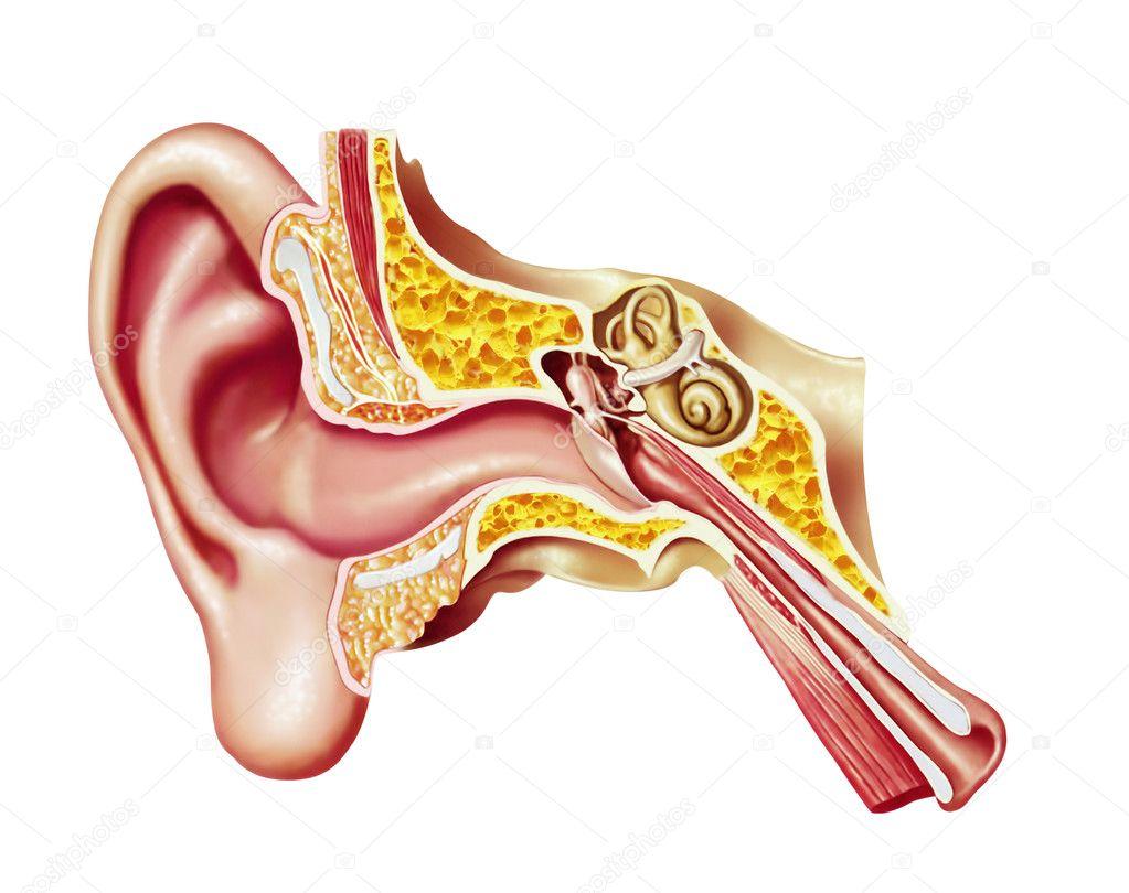 Diagrama de corte de oreja humana — Fotos de Stock © Pixelchaos ...