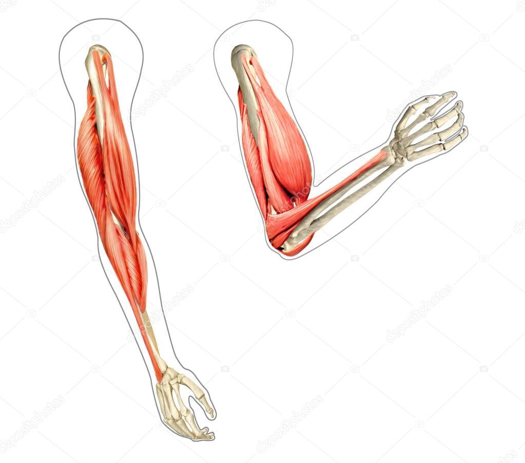 Diagrama de anatomía brazos humanos, mostrando los huesos y músculos ...