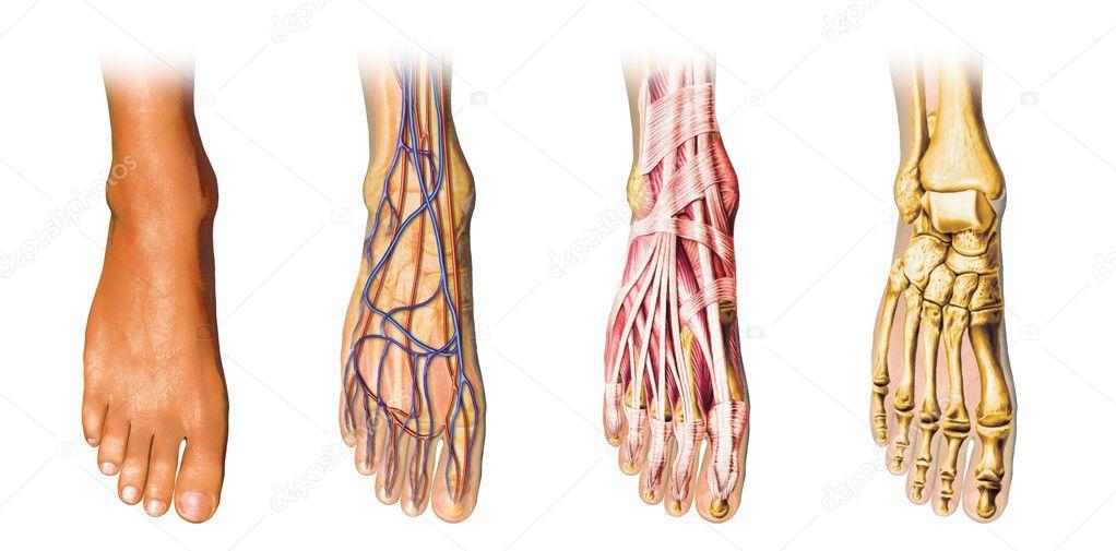 Menschlicher Fuß-Anatomie-Cutaway-Darstellung — Stockfoto ...