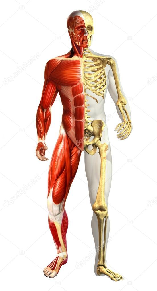 Ilustracin de la anatoma del hombre con esqueleto mitad y mitad