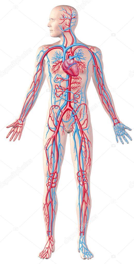 Human circulatory system, full figure, cutaway anatomy illustrat