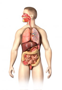 Man anatomy full Respiratory and digestive systems cutaway.