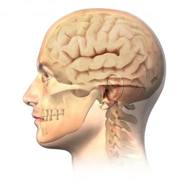 Male human head with skull and brain in ghost effect, side view.