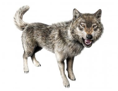 Wolf growling standing on white background.