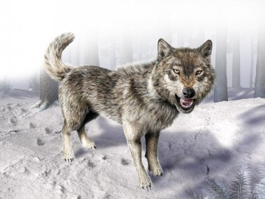 Wolf growling standing on snow.