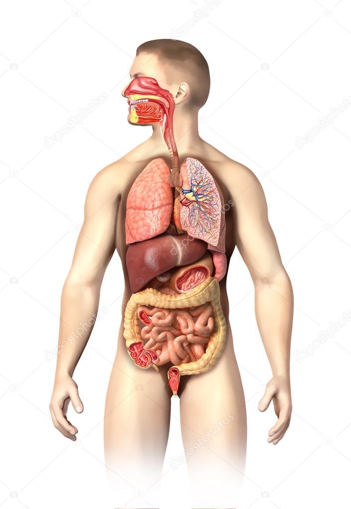 Anatomía de hombre completo respiratorio y sistema digestivo ...