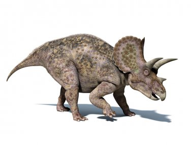 Triceratops dinosaur, isolated on white background
