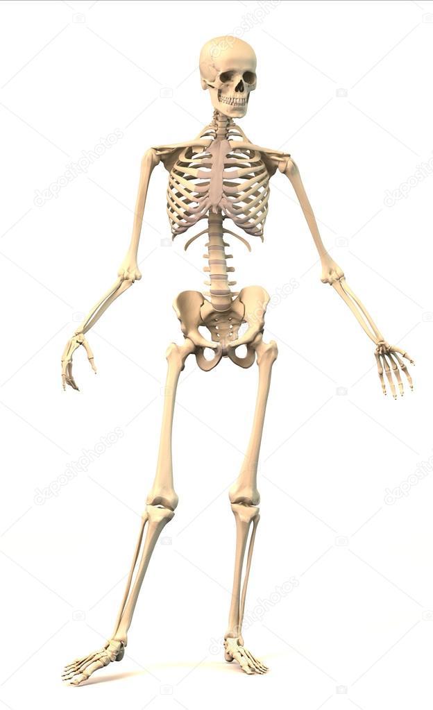 esqueleto humano masculino, en postura dinámica, vista frontal ...