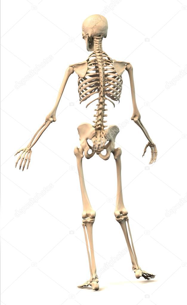 esqueleto humano masculino, en postura dinámica, vista trasera ...