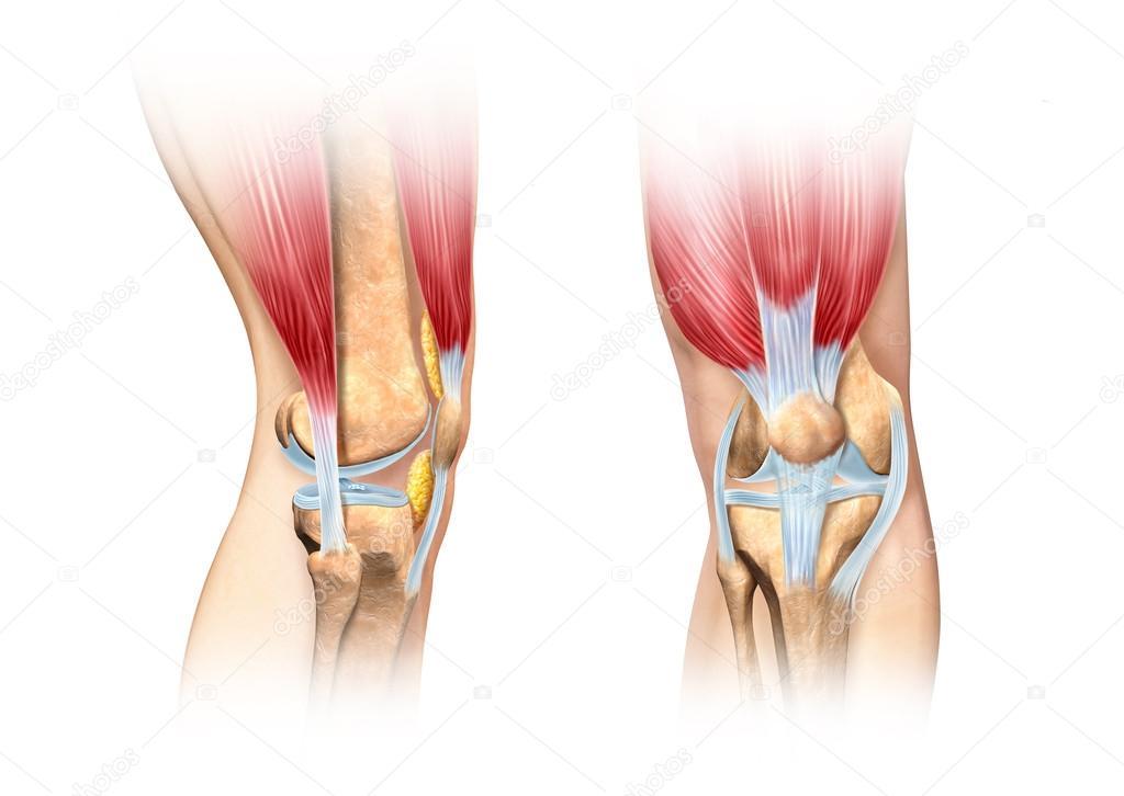 menselijke knie cutaway illustratie. Anatomie afbeelding — Stockfoto ...