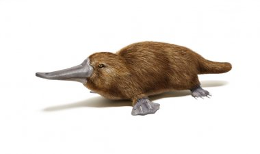 Brown platypus