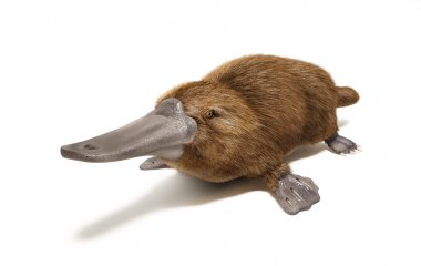 Wild duck-billed