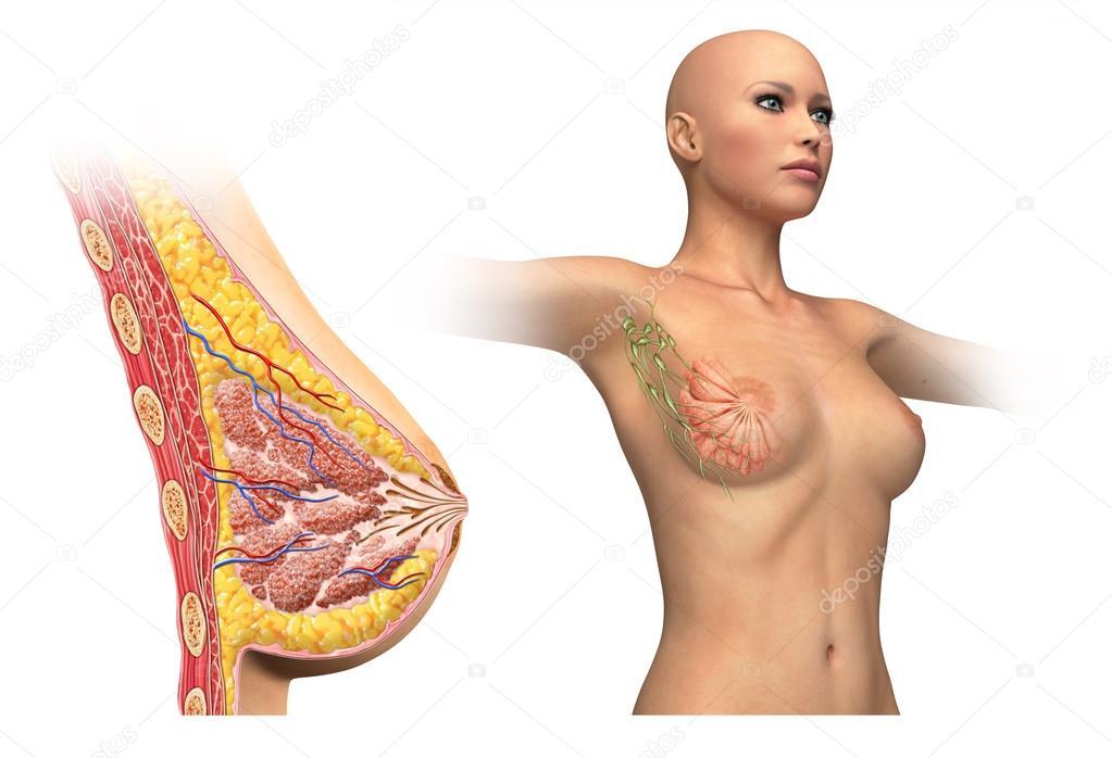 Diagrama de corte de pecho de mujer — Fotos de Stock © Pixelchaos ...