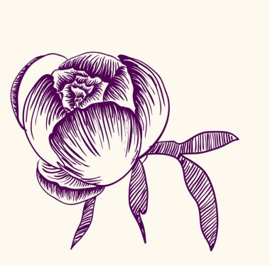 Vector drawing of peony flower